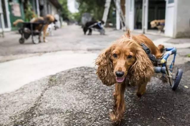有这么一群最可爱的人,为残疾的狗狗默默地付出着!