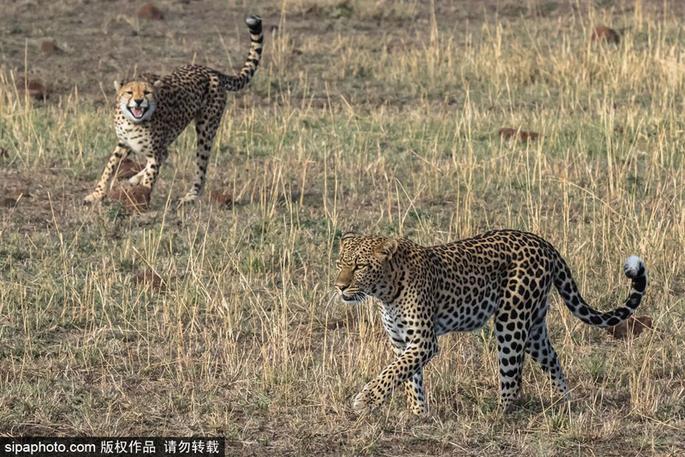 摄影师捕捉肯尼亚豹王之争 为护幼崽