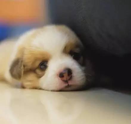 刚出生的小柯基,好可爱!