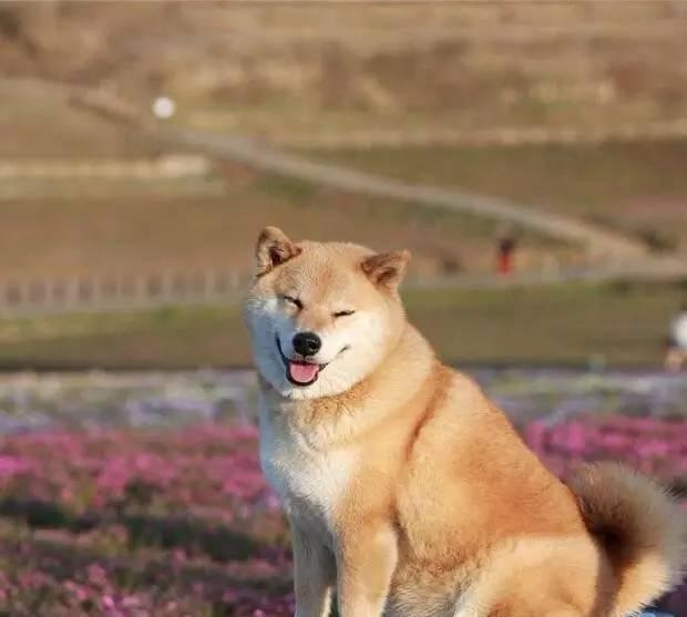 """这只叫做""""北登""""的柴犬,它的笑容被无数人喜爱并做成表情包."""