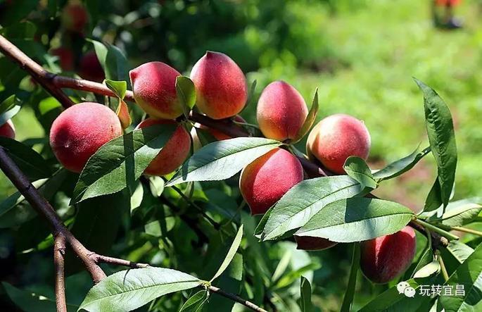 吃货们,宜昌龙泉的水蜜桃成熟了!又脆又甜!